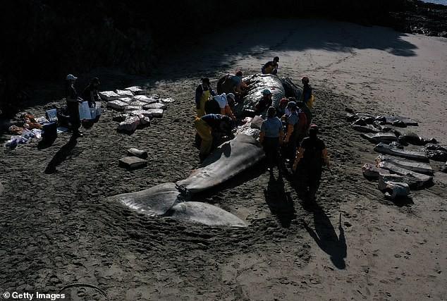 Xác cá voi liên tục trôi dạt vào bờ biển San Francisco vì... chết đói - Ảnh 2.