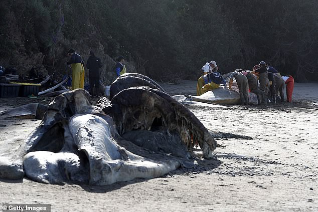 Xác cá voi liên tục trôi dạt vào bờ biển San Francisco vì... chết đói - Ảnh 3.