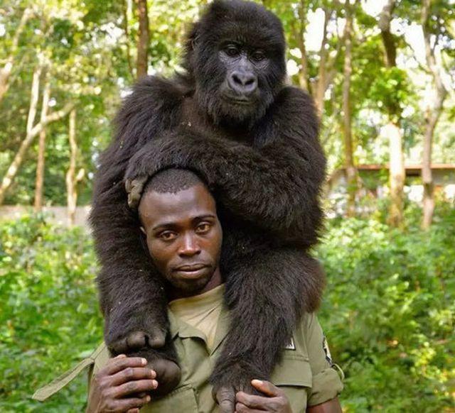 """Chàng kiểm lâm gây """"sốt"""" cộng đồng mạng khi selfie với…. khỉ đột - Ảnh 2."""