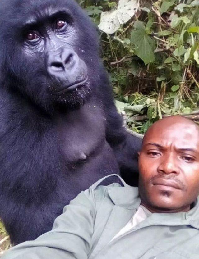 """Chàng kiểm lâm gây """"sốt"""" cộng đồng mạng khi selfie với…. khỉ đột - Ảnh 3."""