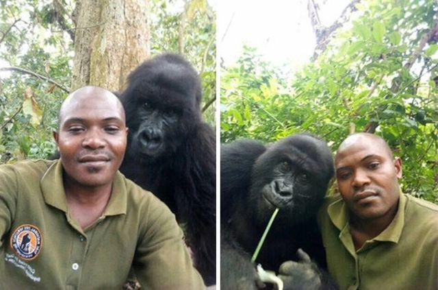 """Chàng kiểm lâm gây """"sốt"""" cộng đồng mạng khi selfie với…. khỉ đột - Ảnh 4."""