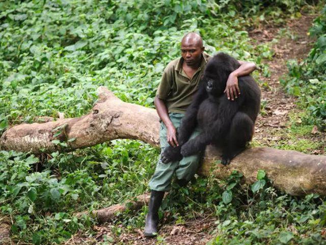 """Chàng kiểm lâm gây """"sốt"""" cộng đồng mạng khi selfie với…. khỉ đột - Ảnh 5."""