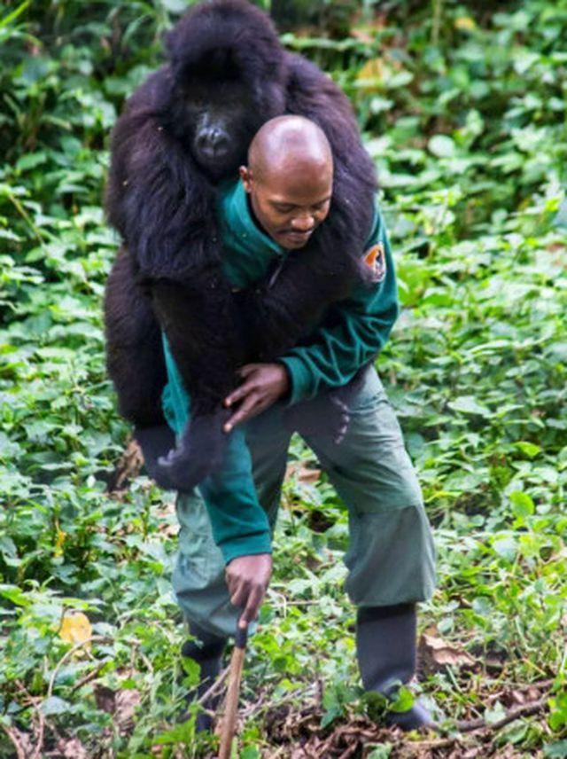 """Chàng kiểm lâm gây """"sốt"""" cộng đồng mạng khi selfie với…. khỉ đột - Ảnh 6."""