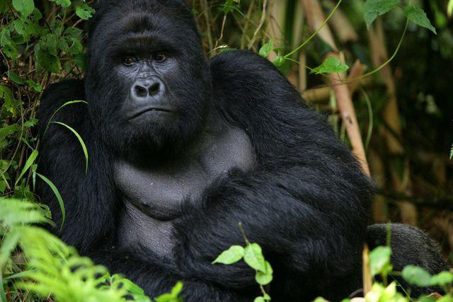 """Chàng kiểm lâm gây """"sốt"""" cộng đồng mạng khi selfie với…. khỉ đột - Ảnh 8."""