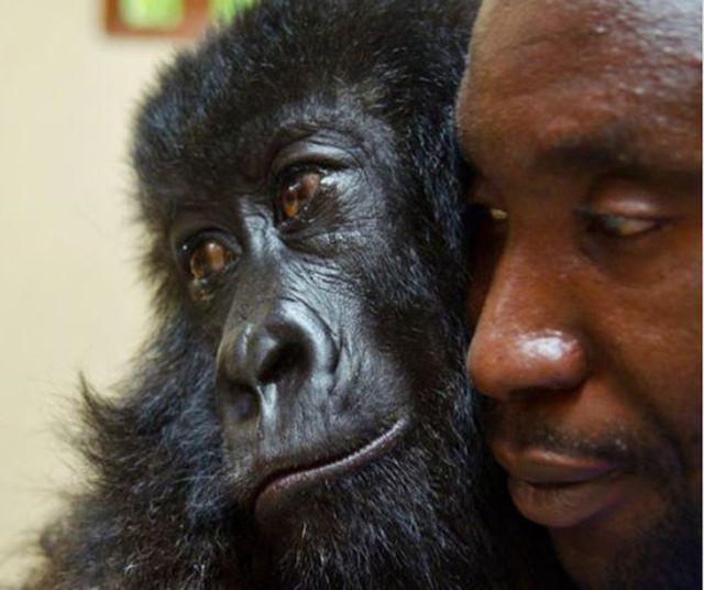 """Chàng kiểm lâm gây """"sốt"""" cộng đồng mạng khi selfie với…. khỉ đột - Ảnh 10."""