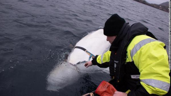 Na Uy: Cá voi trắng bị nghi là gián điệp của Nga - Ảnh 2.