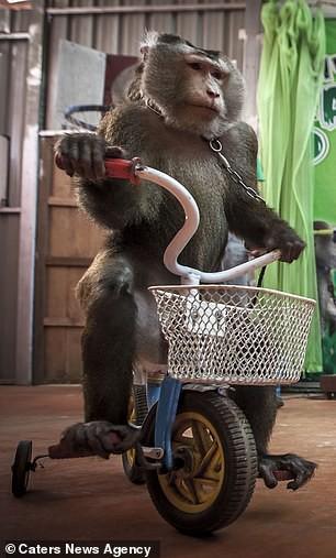 Đau lòng hình ảnh động vật bị xích, sống để mua vui cho con người - Ảnh 3.