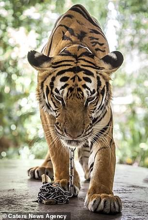 Đau lòng hình ảnh động vật bị xích, sống để mua vui cho con người - Ảnh 6.