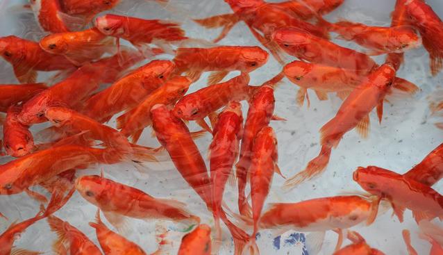 Làng cá chép đỏ nhộn nhịp trước ngày tiễn Táo quân về trời - Ảnh 1.