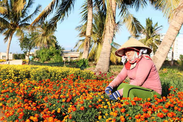 Japanese marigolds has high economic values, so farmers in My Binh ward have expanded the area of this kind of flowers for the upcoming Tet holiday.