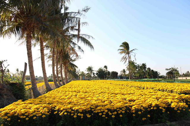 My Binh's flower village is splendid with its brilliant yellow colours under the clear blue sky.