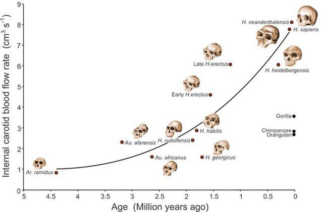 Kích thước bộ não không quyết định trí thông minh, mà chính là lượng máu lưu thông lên não - Ảnh 2.