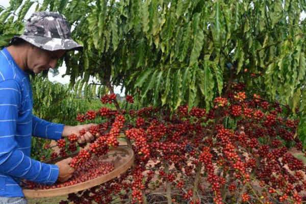 Xuất khẩu cà phê của Brazil tăng cao kỷ lục - Ảnh 1.