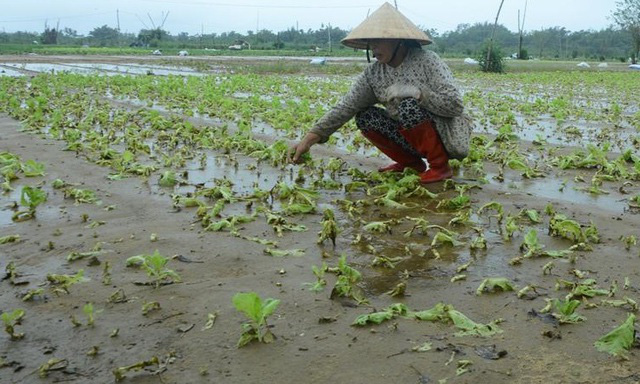 """""""Bão giá"""" rau xanh tại Quảng Ngãi - Ảnh 1."""