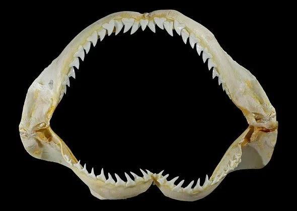 Rùng rợn, phát hiện hàm răng quỷ dữ của loài cá mập 370 triệu năm tuổi - ảnh 3