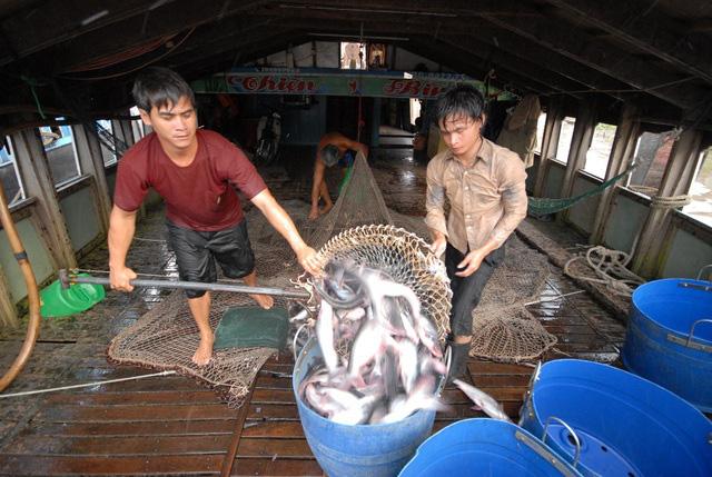 Giá cá tra tại ĐBSCL tăng trở lại - Ảnh 1.
