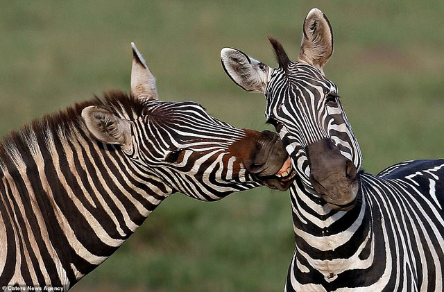 Mỉm cười trước những khoảnh khắc âu yếm trong thế giới động vật - Ảnh 5.
