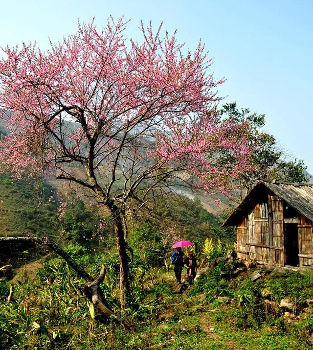Hoa đào núi Tây Bắc khoe sắc hồng tuyệt đẹp trong nắng xuân - Ảnh 1.