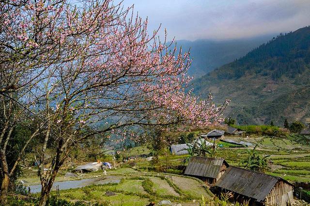 Hoa đào núi Tây Bắc khoe sắc hồng tuyệt đẹp trong nắng xuân - Ảnh 3.