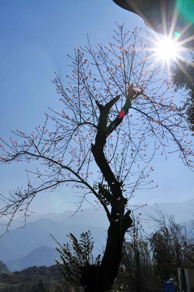 Hoa đào núi Tây Bắc khoe sắc hồng tuyệt đẹp trong nắng xuân - Ảnh 4.