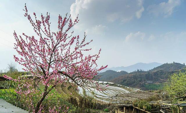 Hoa đào núi Tây Bắc khoe sắc hồng tuyệt đẹp trong nắng xuân - Ảnh 5.