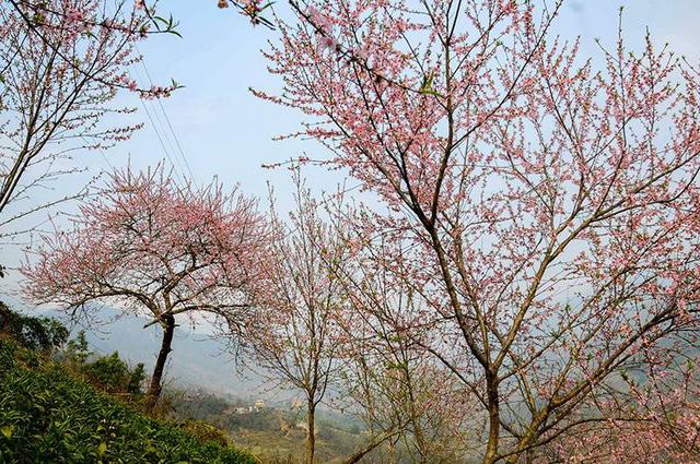 Hoa đào núi Tây Bắc khoe sắc hồng tuyệt đẹp trong nắng xuân - Ảnh 6.