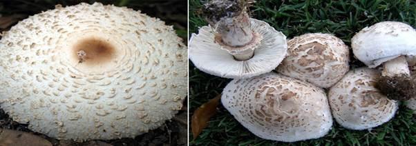 2 trẻ tử vong do ăn nấm độc, bác sĩ chống độc lưu ý các loại nấm độc thường gặp - Ảnh 3.