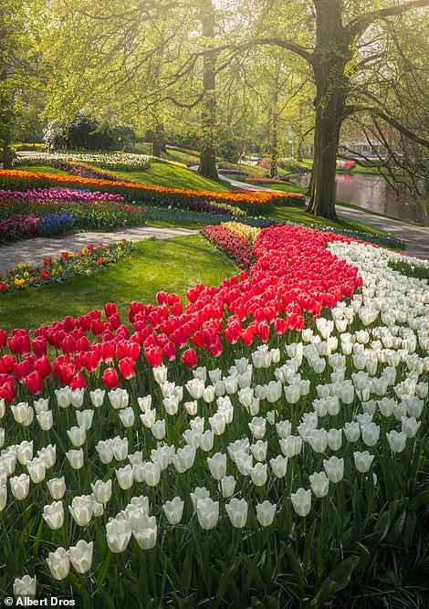 """""""Vườn hoa mùa xuân đẹp nhất thế giới nở rộ nhưng không có khách tham quan - Ảnh 6."""