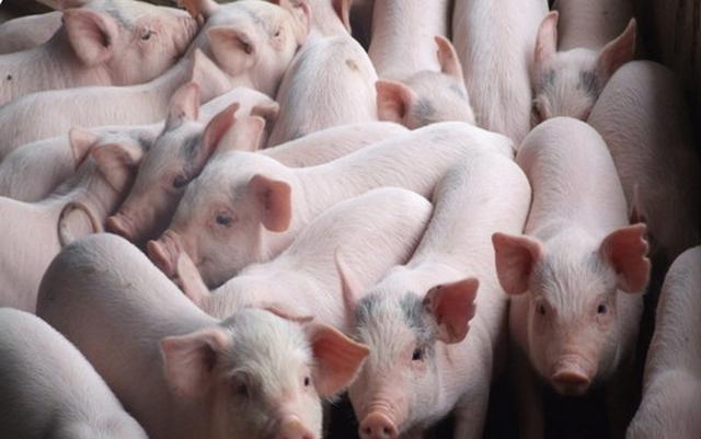 Thúc đẩy phát triển chăn nuôi lợn - Ảnh 1.