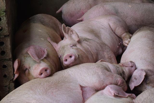 Giá lợn hơi giảm nhưng bấp bênh - Ảnh 1.