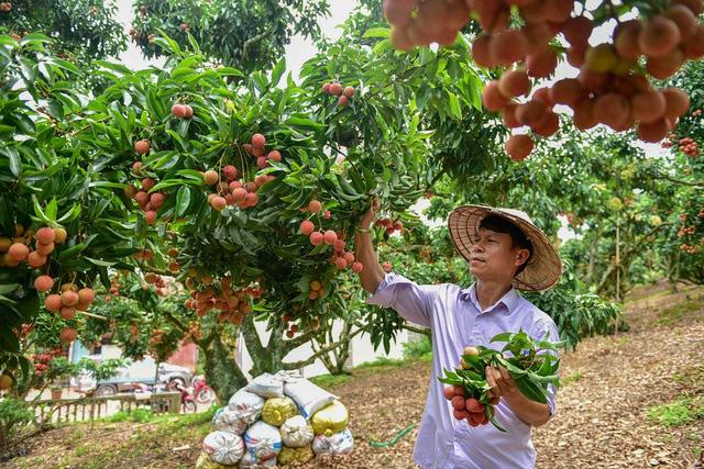 Trúng đậm mùa vải thiều, Bắc Giang thu gần 7.000 tỷ đồng - Ảnh 1.