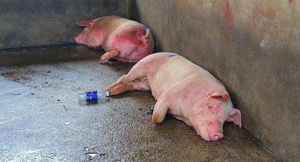 Lợn hơi tăng giá trở lại bất chấp lợn sống từ Thái Lan lại về - ảnh 2