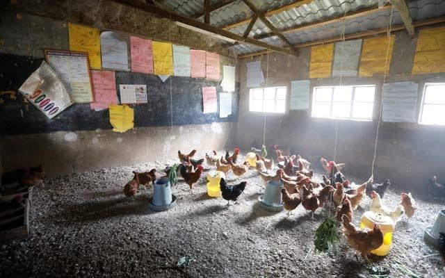 Trường học đóng cửa do COVID-19, giáo viên nuôi gà trong lớp - Ảnh 2.
