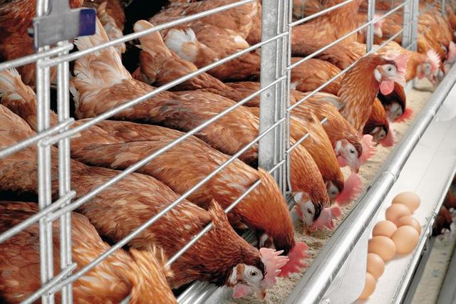 Ngành chăn nuôi cần tạo áp lực để hướng tới mục tiêu xuất khẩu - ảnh 2