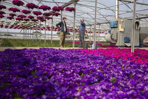 Ngành trồng hoa thất thu do COVID-19 - Ảnh 1.