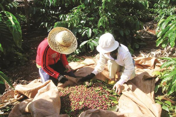 Sản xuất và xuất khẩu cà phê vẫn gặp khó - Ảnh 1.