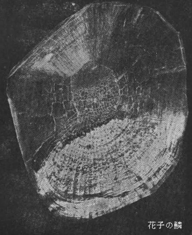 Con cá Koi già nhất thế giới 226 tuổi - Ảnh 2.