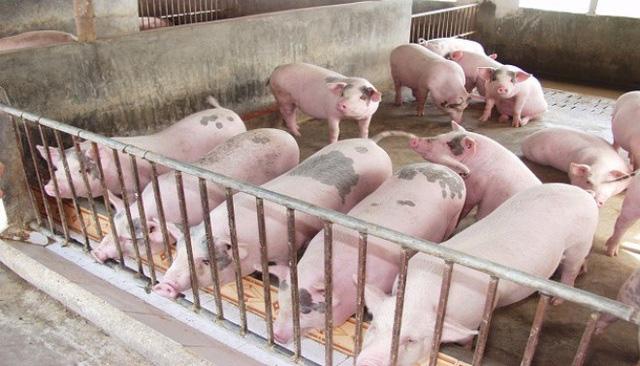 Giá lợn hơi giảm sâu - Ảnh 1.