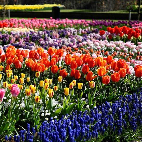 Choáng ngợp trước hàng triệu bông tulip vào mùa nở rộ ở Hà Lan - ảnh 4