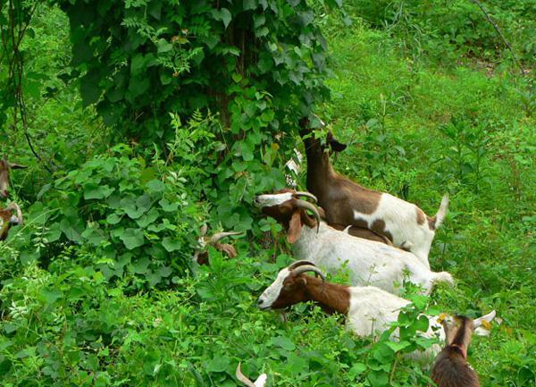 Nuôi bò sữa kém sinh lời, nhiều nông trại Mỹ chuyển sang nuôi dê - Ảnh 1.