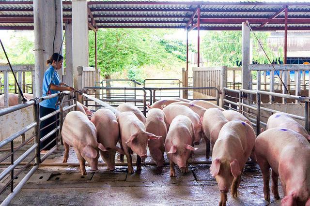 Giá lợn hơi xuống mức thấp nhất trong vòng 2 năm - Ảnh 2.