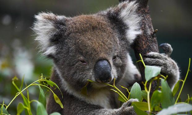 Australia mất đi 1/3 số Koala trong 3 năm qua - ảnh 1