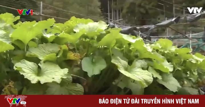 Phương pháp trồng Wasabi tại Nhật Bản