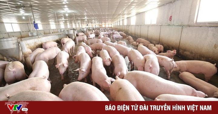Lợn tăng giá nhưng nông dân không nôn nóng tăng đàn
