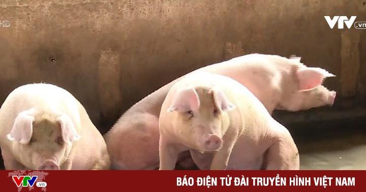 Giá lợn hơi tại miền Nam có xu hướng giảm