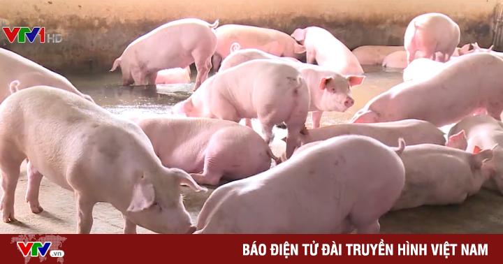 Đồng Nai: Giá lợn tăng, nguồn cung vẫn nhiều