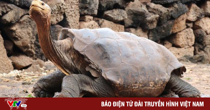 Rùa đực 100 tuổi nghỉ hưu sau 50 năm giao phối, tạo ra 800 rùa con