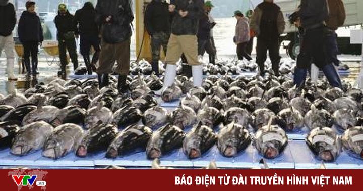 Cá ngừ 1,8 triệu USD bán trong phiên đấu giá đầu năm mới tại Nhật Bản