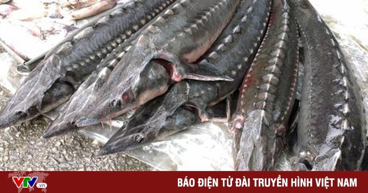 Xử lý nghiêm việc tiếp tay cho cá tầm ''lậu'' vào Việt Nam