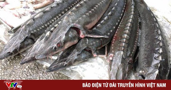 Tràn lan cá tầm ''lậu'' ở chợ đầu mối Hà Nội và TP Hồ Chí Minh
